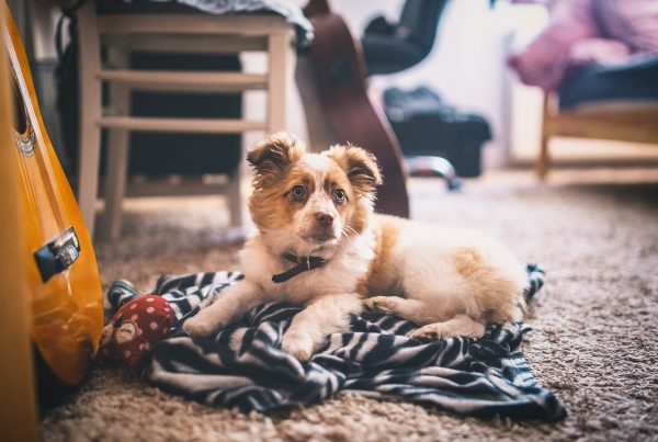 Puppy looking cute on a carpet